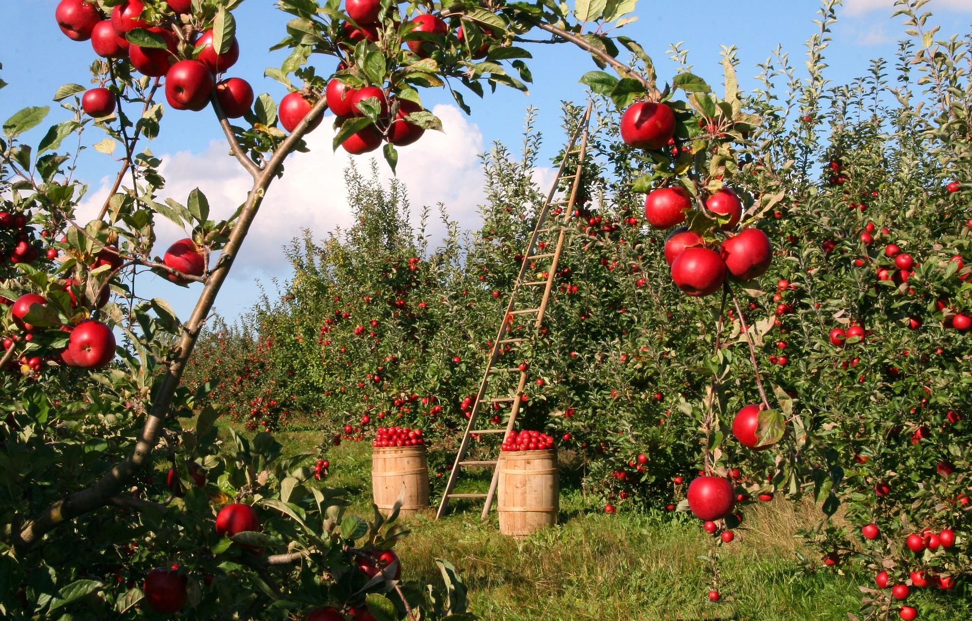 Sázení ovocného stromu