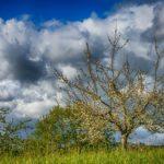 Stříhání ovocných stromů